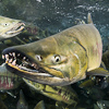 Image F_1843 spawning chum salmon