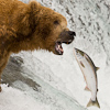 Image M_300 brown bear catching sockeye salmon