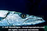 Great Barracuda images