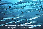Chevron Barracuda images