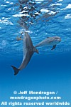 Spotted Dolphins images