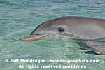 Bottlenose Dolphin images
