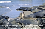 Northern Elephant Seals photos