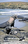 Northern Elephant Seals images