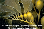 Giant Kelp Fronds photos