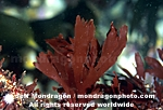 Red Algae / Seaweed images